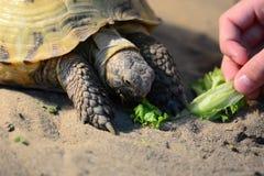 Γεύμα για μια χελώνα Στοκ Εικόνες
