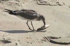 Γεύμα πρωινού για Seagull ξεφυλλίσματος Στοκ εικόνα με δικαίωμα ελεύθερης χρήσης