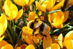 Γεύμα bumble-bee Στοκ Φωτογραφίες