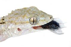 γεύμα gecko Στοκ Εικόνες