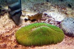 γεύση κοραλλιών Στοκ φωτογραφία με δικαίωμα ελεύθερης χρήσης
