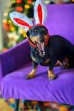 Γελοίο σκυλί σε μια καρέκλα Στοκ Εικόνες