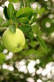 γιαγιά πράσινο Smith μήλων Στοκ φωτογραφία με δικαίωμα ελεύθερης χρήσης