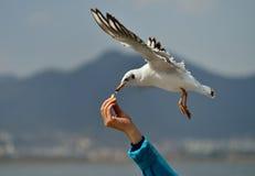 Για να ταΐσει seagulls Στοκ Εικόνες