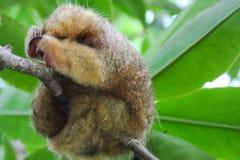 Για χάδια ύπνος anteater στον κλάδο δέντρων Στοκ φωτογραφίες με δικαίωμα ελεύθερης χρήσης