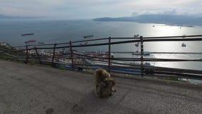 Γιβραλτάρ, UK, Ανδαλουσία, Ισπανία - 16 Απριλίου 2016: Ακρωτήριο του Γιβραλτάρ macaques και των πιθήκων απόθεμα βίντεο