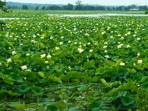 Γιγαντιαία λίμνη της Lilly στοκ φωτογραφία