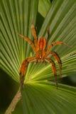 Γιγαντιαία αράχνη tarantula της Κόστα Ρίκα Στοκ εικόνες με δικαίωμα ελεύθερης χρήσης