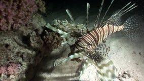 Γιγαντιαία αρπακτικά κοινά κυνήγια Pterois lionfish volitans για τα ψάρια στη Ερυθρά Θάλασσα απόθεμα βίντεο