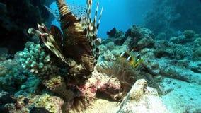 Γιγαντιαία αρπακτικά κοινά κυνήγια Pterois lionfish volitans για τα ψάρια στη Ερυθρά Θάλασσα φιλμ μικρού μήκους