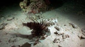 Γιγαντιαία αρπακτικά κοινά κυνήγια Pterois lionfish volitans για τα ψάρια υποβρύχια απόθεμα βίντεο