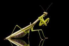 Γιγαντιαία ασιατική επίκληση Mantis Στοκ εικόνα με δικαίωμα ελεύθερης χρήσης