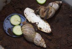 Γιγαντιαία αφρικανικά σαλιγκάρια - fulica Achatina Στοκ Εικόνα