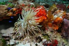 γιγαντιαία θάλασσα anemone cozumel Στοκ Φωτογραφία