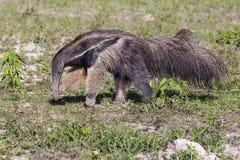 Γιγαντιαία μυρμήγκια σκουπίσματος anteater της μύτης με το νύχι Στοκ Εικόνες