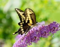 Γιγαντιαία πεταλούδα swallowtail σε έναν πορφυρό θάμνο πεταλούδων Στοκ φωτογραφία με δικαίωμα ελεύθερης χρήσης