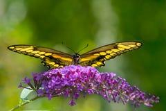 Γιγαντιαία πεταλούδα swallowtail σε έναν πορφυρό θάμνο πεταλούδων Στοκ εικόνες με δικαίωμα ελεύθερης χρήσης