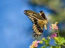 Γιγαντιαία πεταλούδα Swallowtail σε Lantana Στοκ φωτογραφία με δικαίωμα ελεύθερης χρήσης