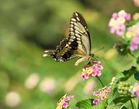 Γιγαντιαία πεταλούδα Swallowtail σε Lantana Στοκ Εικόνα