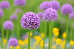 Γιγαντιαία πορφυρά allium λουλούδια Στοκ Εικόνες