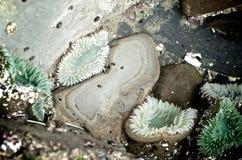 Γιγαντιαία πράσινη θάλασσα Anemone Στοκ εικόνα με δικαίωμα ελεύθερης χρήσης