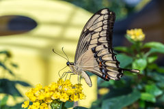 Γιγαντιαία σίτιση πεταλούδων swallowtail Στοκ Εικόνες