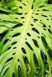 γιγαντιαία φύλλα Στοκ Εικόνες