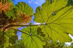 Γιγαντιαία φύλλα, δασική κονσέρβα σύννεφων Monteverde, Κόστα Ρίκα Στοκ Φωτογραφία