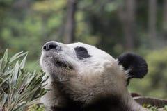 Γιγαντιαία χαρά της Panda: Ah η γλυκιά μυρωδιά του μπαμπού! Στοκ φωτογραφία με δικαίωμα ελεύθερης χρήσης