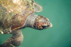 γιγαντιαία χελώνα θάλασσας Στοκ Φωτογραφίες