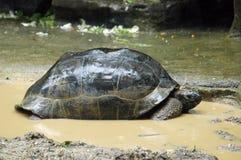 γιγαντιαία χελώνα Στοκ εικόνες με δικαίωμα ελεύθερης χρήσης