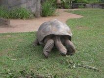 Γιγαντιαία χελώνα Αυστραλία Στοκ φωτογραφία με δικαίωμα ελεύθερης χρήσης