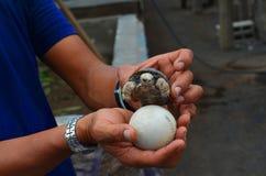 Γιγαντιαία χελώνα και αυγό μωρών Galapagos Στοκ φωτογραφίες με δικαίωμα ελεύθερης χρήσης
