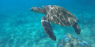 Γιγαντιαία χελώνα μεγέθους στοκ εικόνες με δικαίωμα ελεύθερης χρήσης