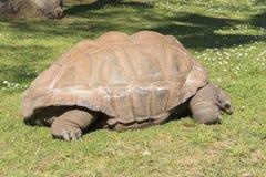 Γιγαντιαία χελώνα που τρώει τη χλόη, γίγαντας Tortoise Aldabra Στοκ Εικόνα