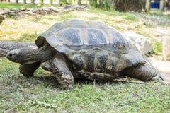 Γιγαντιαία χελώνα στο ζωολογικό κήπο Στοκ Εικόνες