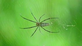 Γιγαντιαία χρυσή αράχνη υφαντών σφαιρών ή βόρειος χρυσός υφαντής σφαιρών απόθεμα βίντεο