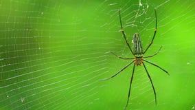 Γιγαντιαία χρυσή αράχνη υφαντών σφαιρών ή βόρειος χρυσός υφαντής σφαιρών φιλμ μικρού μήκους
