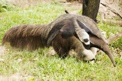 Γιγαντιαία Anteater και μωρό Στοκ Φωτογραφίες