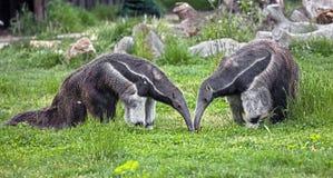 Γιγαντιαία anteaters Στοκ Εικόνες