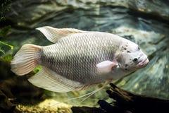 Γιγαντιαία gourami ψάρια στο ενυδρείο Στοκ Φωτογραφία
