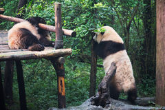 γιγαντιαία pandas που παίζουν δύο Στοκ εικόνα με δικαίωμα ελεύθερης χρήσης