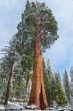 Γιγαντιαία Sequoia δέντρα Sequoia στο εθνικό πάρκο, ΗΠΑ Στοκ Εικόνες
