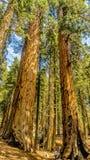 Γιγαντιαία sequoia δέντρα Sequoia στο εθνικό πάρκο Στοκ Φωτογραφία