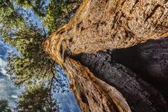 Γιγαντιαία sequoia δέντρα Sequoia στο εθνικό πάρκο Στοκ Φωτογραφίες