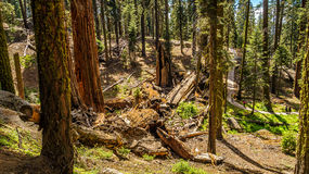 Γιγαντιαία sequoia δέντρα Sequoia στο εθνικό πάρκο Στοκ Εικόνα