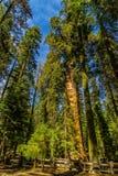 Γιγαντιαία sequoia δέντρα Sequoia στο εθνικό πάρκο Στοκ Εικόνες