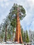 Γιγαντιαία Sequoia δέντρα Sequoia στο εθνικό πάρκο, ΗΠΑ Στοκ Εικόνα