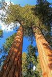 Γιγαντιαία sequoia δέντρα Sequoia στο εθνικό πάρκο, Καλιφόρνια Στοκ Εικόνες