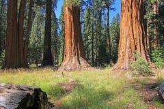 Γιγαντιαία sequoia δέντρα Sequoia στο εθνικό πάρκο, Καλιφόρνια Στοκ εικόνα με δικαίωμα ελεύθερης χρήσης